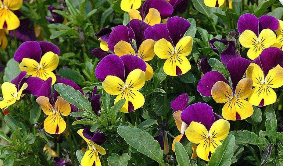 花箱植物 三色堇