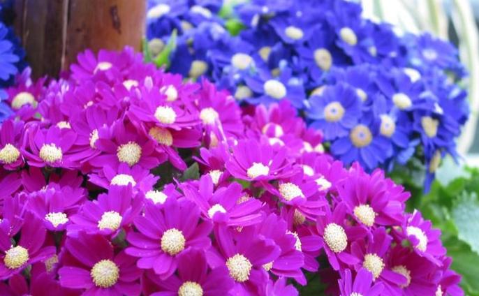 花箱植物 瓜叶菊