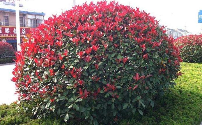 花箱植物 红色石楠
