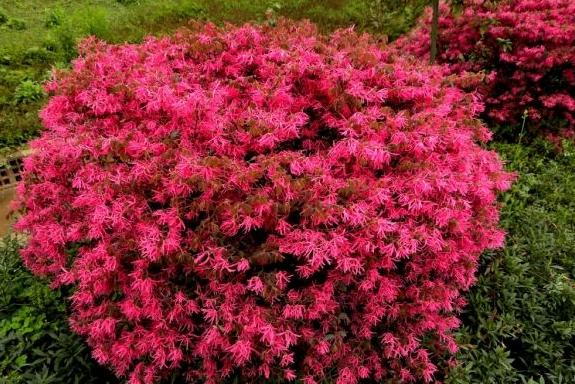 花箱植物 红花檵木球